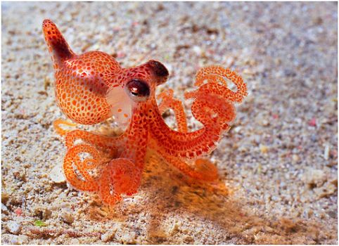 Bright little octopus