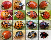 Ladybugs 16