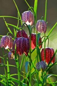 Kiviets bloemen