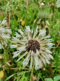 Wet Dandelion - unable to fly :-)
