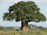 Boabab tree Tanzania