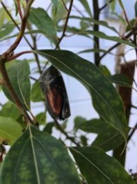 Chrysalis just before butterfly emerged