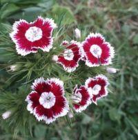 hvozdík bradatý ,Dianthus barbatus
