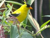 Backyard Gold Finch