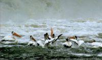 Pelicans in Manitoba
