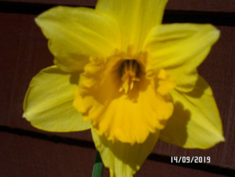 Daffodil for Nev