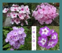 Collage of my Phlox 2021 in the back garden