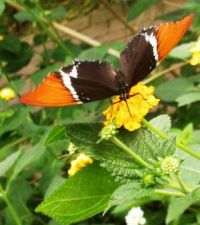 Butterfly, lunching