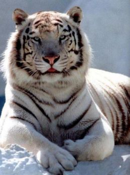 White Seberian Tiger