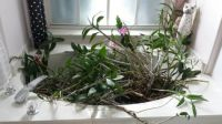 Orchids hiding from Matthew