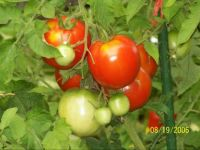 early cascade tomatoes
