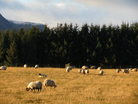 Sheep Grazing in Scotland