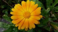 gelbe Blume.jpg