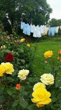 Laundry in the Rose Garden