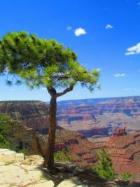 Grand Canyon View Pine