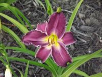 Pretty dark purple daylilly from my garden