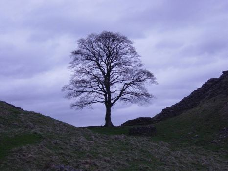 Tree at Hadrian's Wall used in the Movie 'Robin Hood Prince of Thieves'
