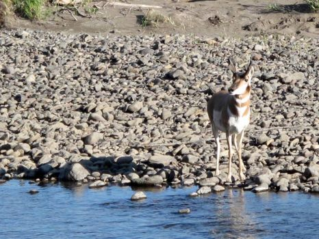 Pronghorn antelope, Yellowstone NP