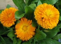 "Calendula  ""Honey Babe""  plus fly"