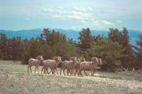 2002  BIG HORN SHEEP ON  PRYOR MOUNTIAN