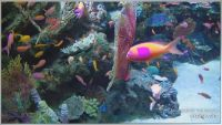 aquarium of the pacific-Anthias
