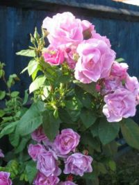 My rose bush in flower