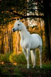 Magnificent White Horse