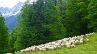 Sheep above Les Houches