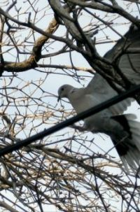 Time to Build - Dove in a Thorny Tree