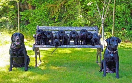 The Black Lab Family