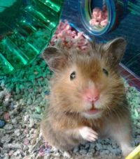 My hamster anakin <3