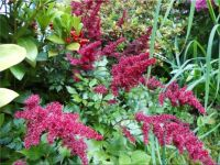 Red blossoms ❊ Astilbe