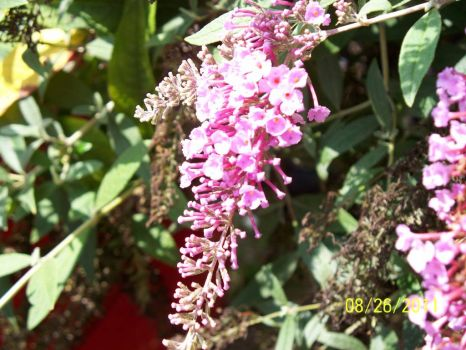 Pinkish-purplish flowers on a vine
