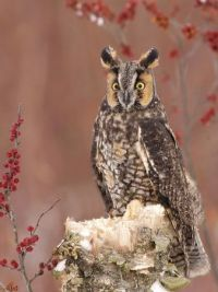 Long-eared Owl (Asio otus) by ER Post