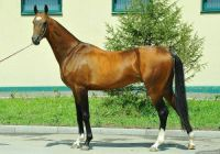 Akhal-Teke stallion Bojar by Saks Stable
