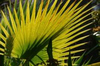 New Zealand Palm