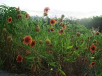 granbury wild flowers