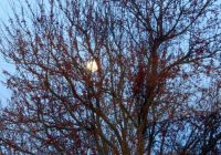Moon Through the Pear Tree