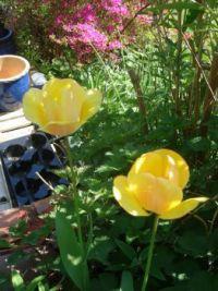 garden tulips 013