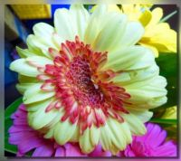 Winking Gerbera for Taisia