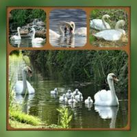 Swans Love Story