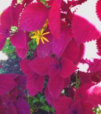 red coleus, strong sunlight--challenging