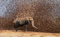 African elephant in a flock of red-billed quelea in Kenya
