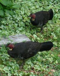 Bush Turkeys in our garden