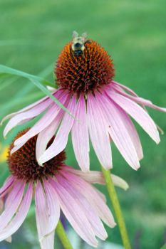 Cone flower & bee