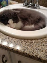 Bubby loves to sleep in the sink