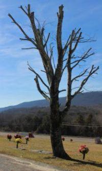 Tree killer strikes again!