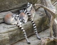 Lemurs at the Zoo