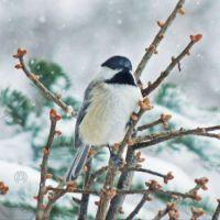 Winter Chickadee