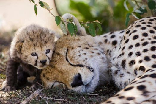 'Beautiful mom napping.. Beautiful daughter keeping look-out..!!'